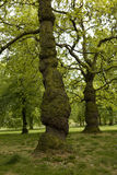 Tree in Hyde park in London Royalty Free Stock Photos