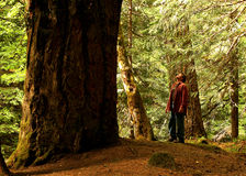 The Tree and I. A very large tree towering over an observer Royalty Free Stock Photos
