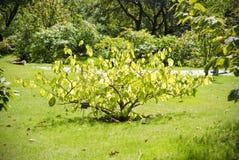 Tree i en sommarjapanträdgård Fotografering för Bildbyråer