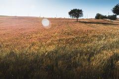 Tree i ett vetefält Arkivbild
