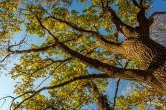 Tree i höst Arkivfoto