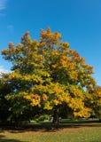 Tree i höst Royaltyfria Foton