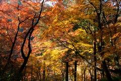 Tree i höst Arkivbilder