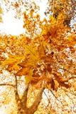 Tree i höst Royaltyfri Bild