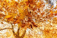 Tree i höst Fotografering för Bildbyråer