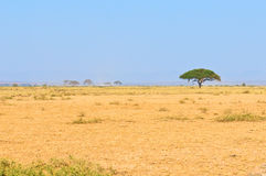 Tree i savannahen, typisk afrikansk liggande arkivfoto