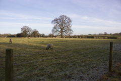 Tree i a sheep field Royalty Free Stock Photo