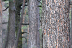 Tree i skogen Fotografering för Bildbyråer