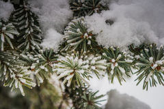Tree i snow Arkivfoton