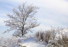 Tree i snow mot blåttskyen. Vinterplats. Royaltyfri Foto
