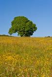 Tree i sommaren Arkivfoto