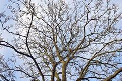 Tree i vinter Arkivbilder