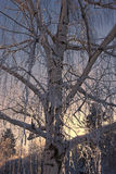 Tree with ice on branches. Royalty Free Stock Photos