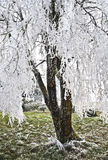 Tree with Icy Frost Laced Branches. Tree with white frosty laced branches stock photo