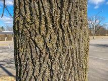 Free Tree Identification: Bur Oak Quercus Macrocarpa Stock Photos - 210477933