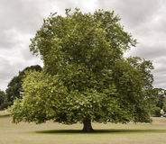 Free Tree In A Park Royalty Free Stock Photography - 16531157