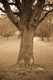 Tree In A Park In Sepia Stock Images