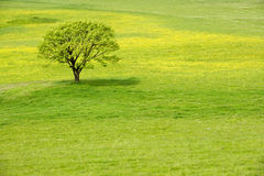 Free Tree In A Spring Blossom Meadow Royalty Free Stock Images - 5179809