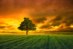 Tree In Field And Orange Sky