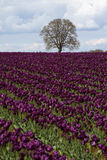 Tree In Field Of Purple Tulips Stock Photos