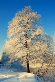 Tree In Frost, Winter Morning Royalty Free Stock Photos