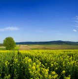 Tree In Oilseed Field Stock Images