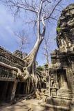 Tree In Ta Phrom, Angkor Wat, Cambodia, Asia. Royalty Free Stock Image