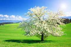 Free Tree In The Spring Royalty Free Stock Photos - 18690188