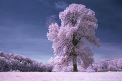 Tree in infra red light. Tree on meadow in infra red light Royalty Free Stock Images