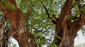 Tree Inside Gimbal FHD. Argan tree close up shot stock footage