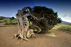 Tree on the island of El Hierro, Canary Islands. Native tree twisted by the force of wind, Sabinar El Hierro Royalty Free Stock Image
