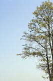 Tree isolate on blue sky Royalty Free Stock Photography