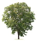 Tree isolate on white. Background Royalty Free Stock Images