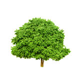 Tree Isolate. On white background Royalty Free Stock Photography