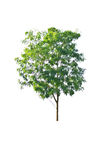 Tree isolate on a white background Stock Image