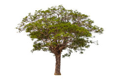 Tree. Isolate on white background Royalty Free Stock Photography