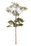 Tree. Isolate on white background Stock Image