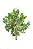 Tree isolate on white background Stock Images