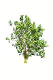Tree isolate on white background Royalty Free Stock Images