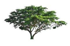 Tree isolate on white background Royalty Free Stock Photo