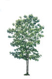 Tree on isolate Royalty Free Stock Photo