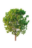 A tree. Isolate on white background Stock Photo