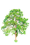 A tree. Isolate on white background. with work path Stock Photos