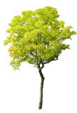 Tree isolated Stock Images