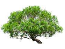 Tree isolated Royalty Free Stock Photos