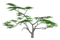 Tree isolated. Acacia constricta Stock Photos