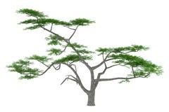 Tree isolated. Acacia constricta Stock Photos