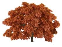 Tree isolated. Acer japonicum Stock Image