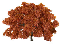 Tree isolated. Acer japonicum Royalty Free Stock Photo