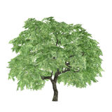 Tree isolated. Acer palmatum Stock Image